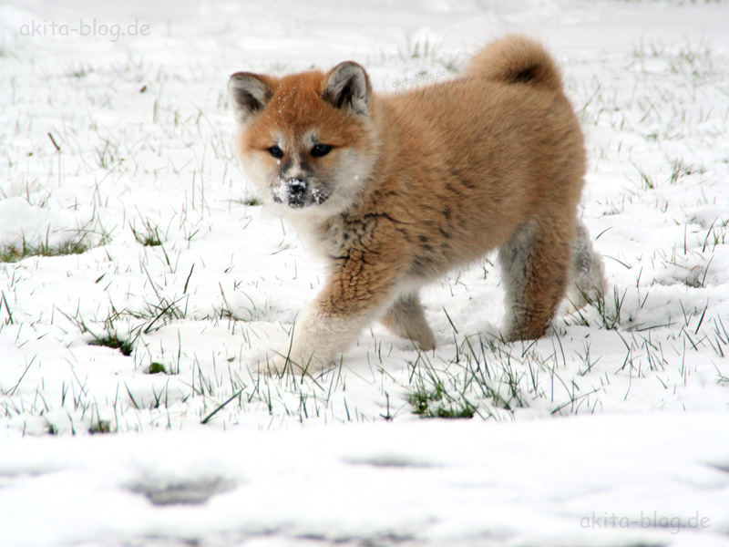 miniature akita dog breeds picture